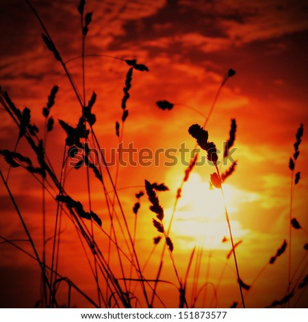 Silhouette of Grass Flowers against a Colourful Sky at Sunset - stock photo