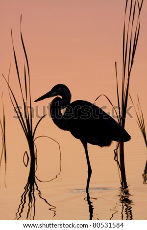 Silhouette of Great Blue Heron in the Cattails at Sunrise - stock photo