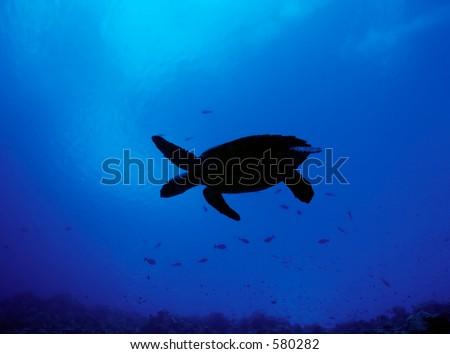 Silhouette of Hawksbill Turtle on Maldive reef - stock photo