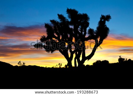 Silhouette of Joshua Trees against colorful sunset background - Joshua Tree National Park, California - stock photo