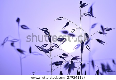 Silhouette of oat plants at sunrise, colored effect image  - stock photo