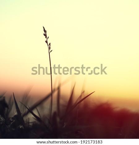 silhouette of slender blade of grass on sunrise background - stock photo