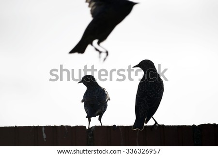 silhouette of starlings on a wall against a white background - stock photo