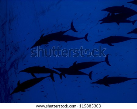 Silhouette of the huge school of dolphins swimmimg in blue - photo against the surface - stock photo