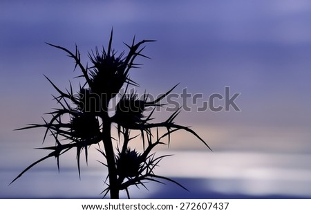 Silhouette of wild thistle flowers on horizon with effects of color at dawn, colored image - stock photo