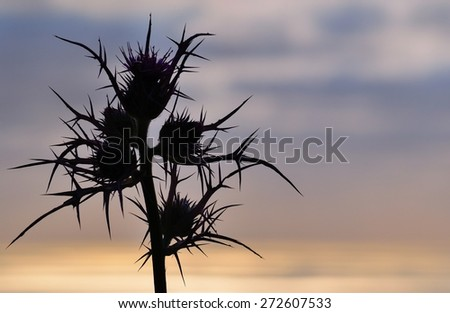 Silhouette of wild thistle on colored sky - stock photo