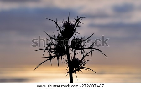Silhouette of wild thistle on colored skyline at dawn - stock photo