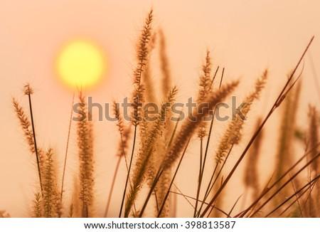 silhouette setaceum pennisetum fountain grass on sunset background. - stock photo