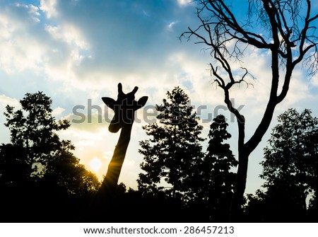 silhouette shot image of  giraffe on evening time with blue sky in background. - stock photo
