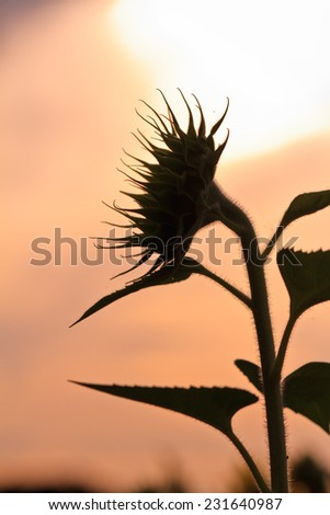 Silhouette sunflower  on pink background - stock photo