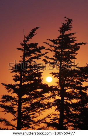 Silhouetted coniferous trees with a colorful sunset in the background. - stock photo