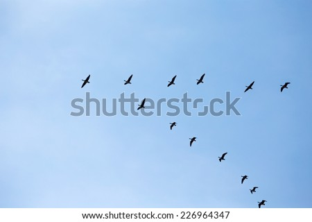 Silhouettes of a wedge of flying wild geese - stock photo