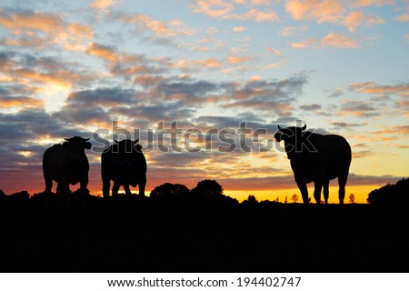 Silhouettes of cows on meadow against dramatic sunset - stock photo