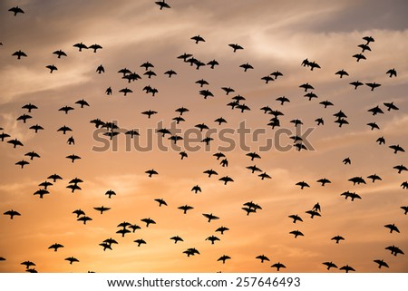 Silhouettes of flying birds - stock photo
