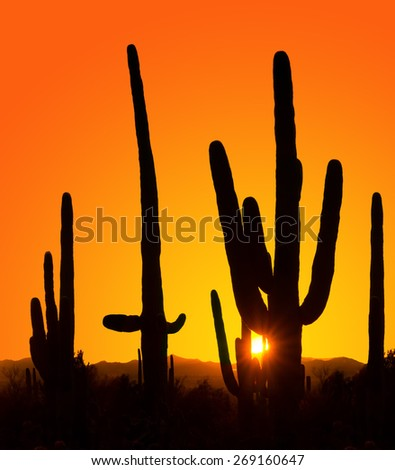 Silhouettes of giant cactus at sunset in Saguaro National Park, Arizona, USA - stock photo