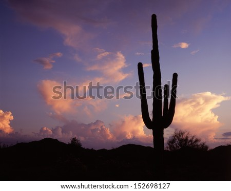 Silhouettes of saguaro in the western sky of pink, blue, purple and gold.silhouettes of saguaros/ Depending on how dirty the sky is will factor what color the sunrise or set  on the Arizona desert.  - stock photo