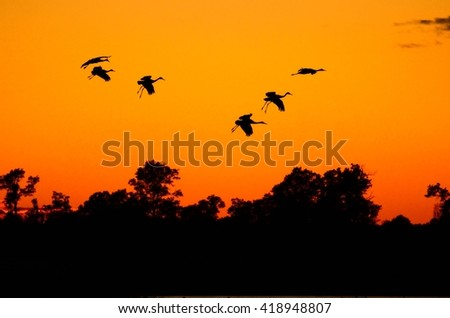 Silhouettes of Sandhill Cranes( Grus canadensis) at Sunset - stock photo