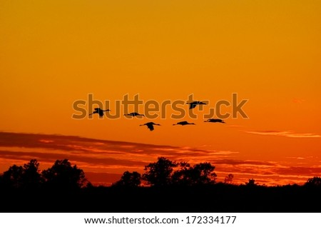 Silhouettes of Sandhill Cranes( Grus canadensis) Flying at Sunset - stock photo