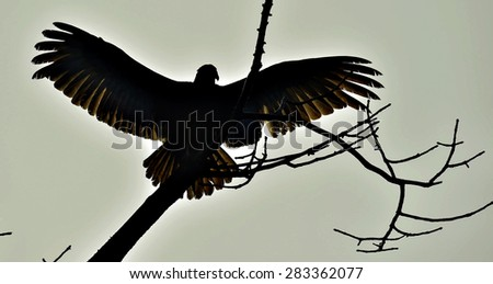 Silhouettes of the Turkey Vulture (Cathartes aura) perched on a tree, against the sky - stock photo