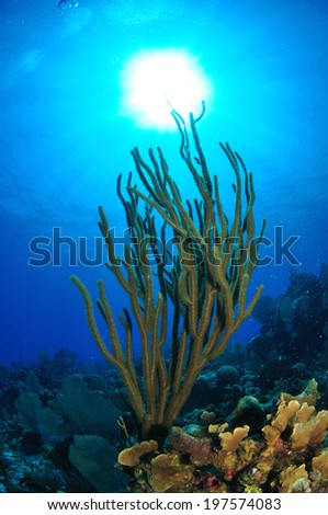 Silhoutte of soft Coral, Grand Cayman, Cayman Islands - stock photo