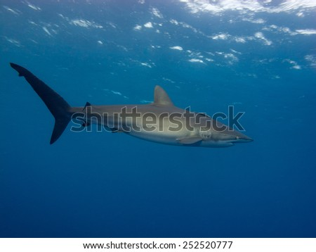 Silky shark (Carcharhinus falciformis) under sea - stock photo