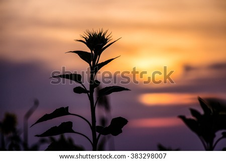 Sillouette of sun flower at sunset time - sunflower shadow at twilight time - stock photo