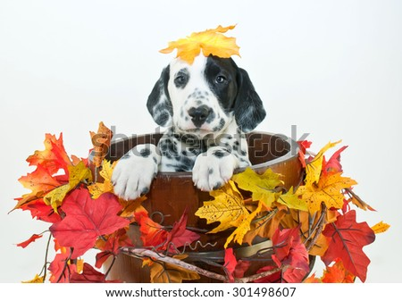Silly Dalmatian puppy sitting in a bucket with fall leaves around him with a fall leaf that looks like it fell on his head, on a white background. - stock photo
