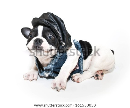 Silly French Bulldog puppy wearing a biker outfit with a funny look on her face on a white background. - stock photo
