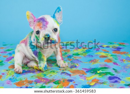 Silly little French Bulldog that looks like she got into the art teachers paint supplies, on a blue background with copy space. - stock photo