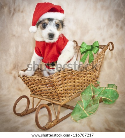 Silly Puppy Dressed Up Like Santa, He even looks like he has a white beard Just Like Santa. - stock photo