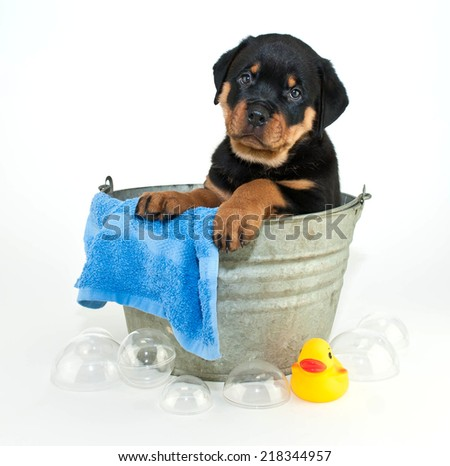 Silly Rottweiler puppy looking confused of why he has to get a bath, on a white background. - stock photo