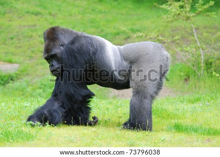 Silver back gorilla - stock photo