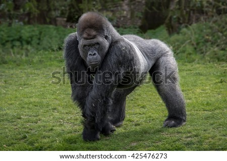 Silver back gorilla looking alert and menacing against a natural background - stock photo