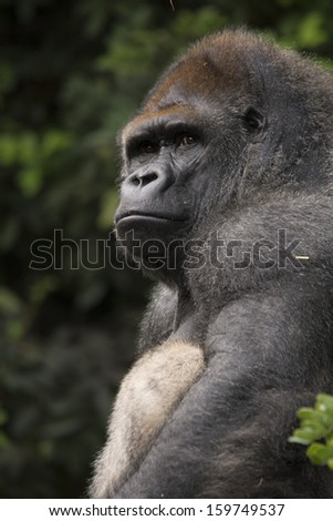 Silver back gorilla looking proud and relaxed - stock photo