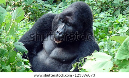 Silver-back in the forest of Uganda - stock photo