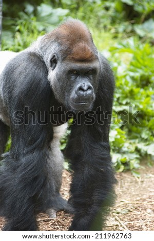 Silver-backed Gorilla.  This is the biggest of the Great Apes, and is probably one of Man's closest relatives. - stock photo