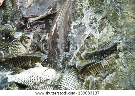 Silver barb fish and giant catfish in farm. - stock photo