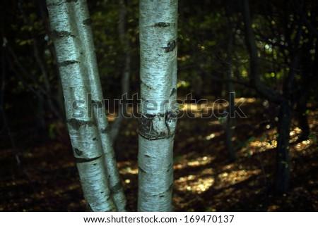 silver birch - stock photo