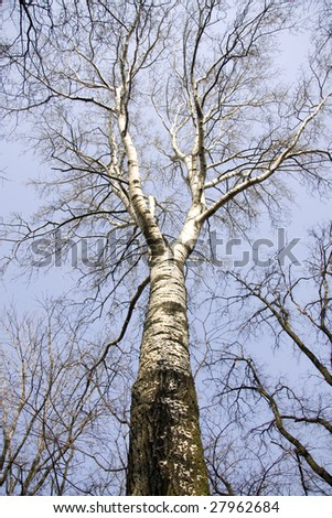 Silver birch tree on the spring's blue sky background - stock photo