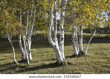 silver birches in the northeast of china - stock photo
