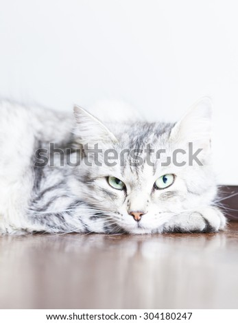 silver cat of siberian breed female at four years, relax on the floor - stock photo