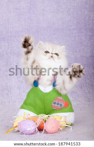 Silver Chinchilla kitten dressed in Easter bunny pants with Easter eggs waving paws on lilac light purple background  - stock photo