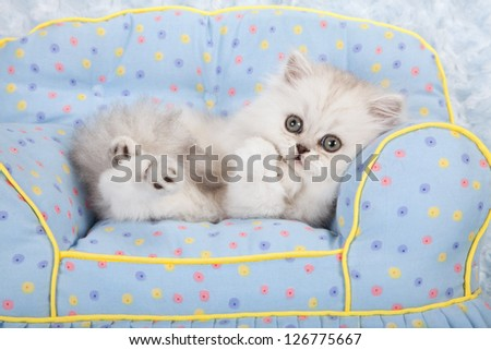 Silver Chinchilla kitten lying on miniature plush chair holding paws - stock photo