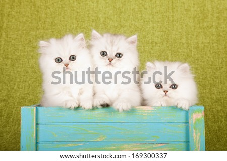 Silver Chinchilla kittens sitting inside blue wooden box container against lime green background  - stock photo