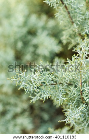 Silver evergreen thuja bush branch close up details on blurred green background - stock photo