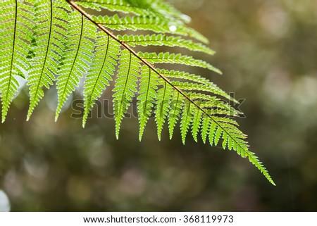 Silver Fern leaf - stock photo