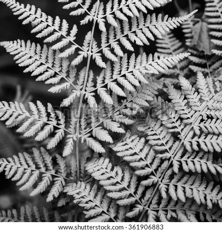 Silver fern leaf in black and white on a black background  - stock photo