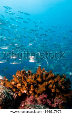 silver fish from the reefs of the sea of cortez, mexico. Cabo pulmo national park. - stock photo