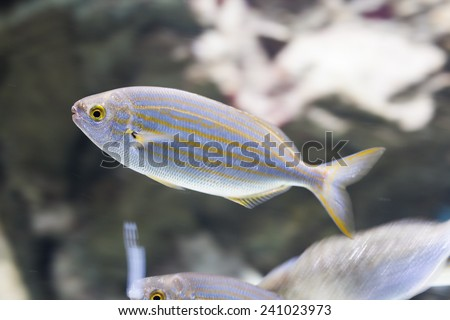 Silver fish with yellow stripes and selective focus - stock photo