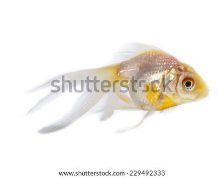 Silver goldfish with long fins over a white background - stock photo
